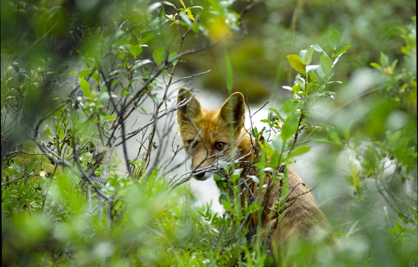 An image of a red fox looking inquisitively through some vegetation towards the viewer.