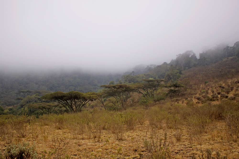 An image of a mist shrouded acacia forest sloping gently upwards..