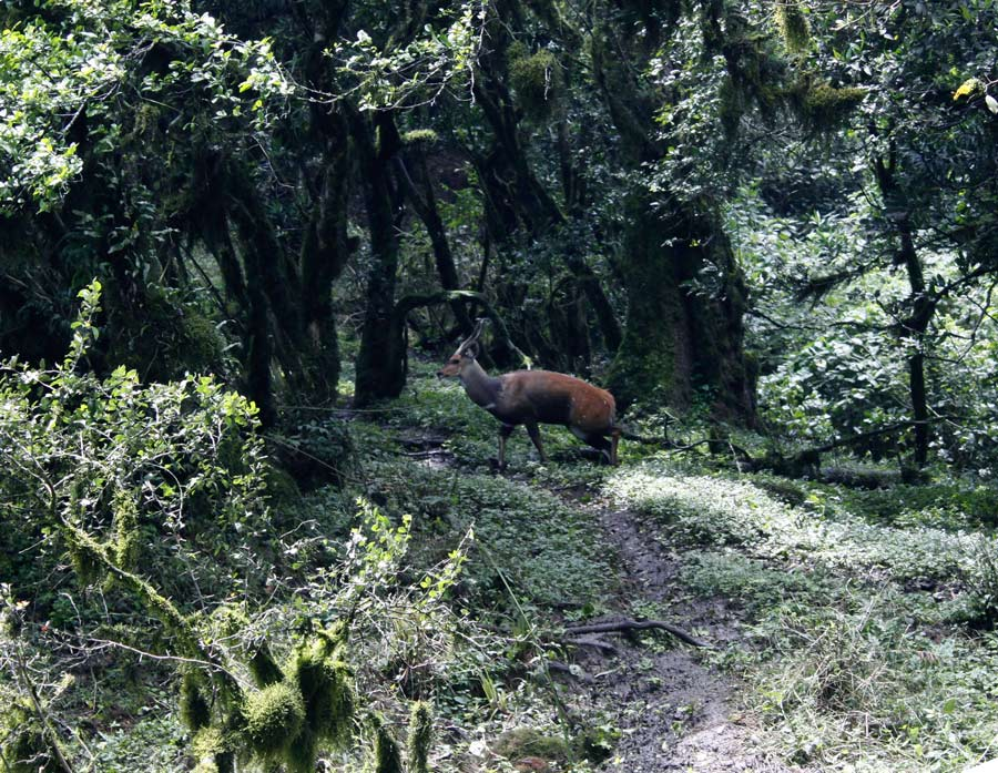 A Paul Augustinus image of a male bushbuck crossing a path in the mountain forest of Burko.