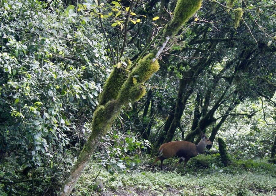 Augustinus image of a bushbuck antelope in a green forest.