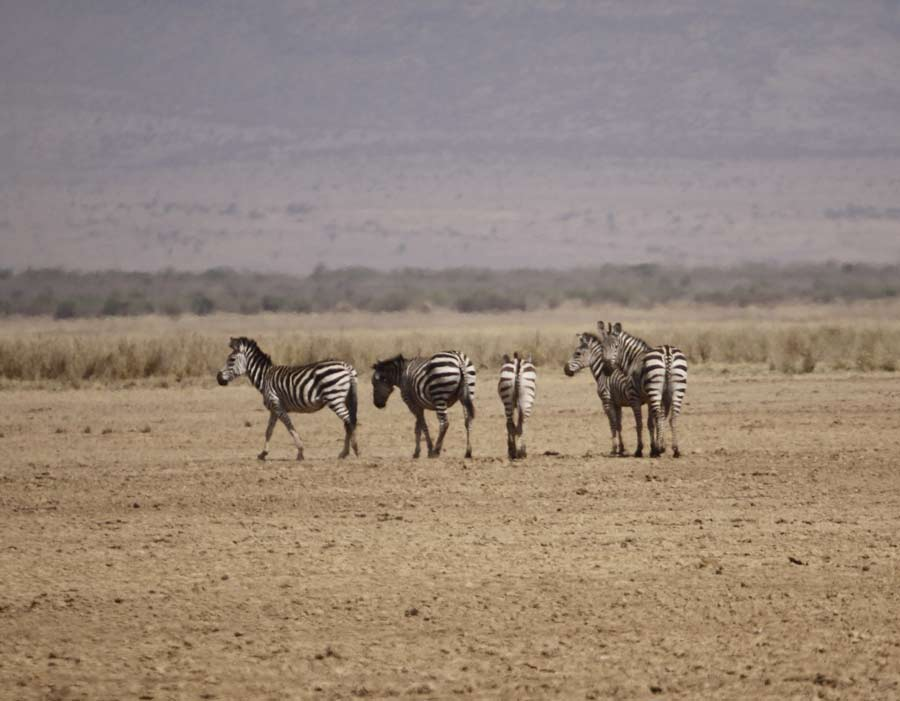 An image of several zebras out on a barren ,flat plain.
