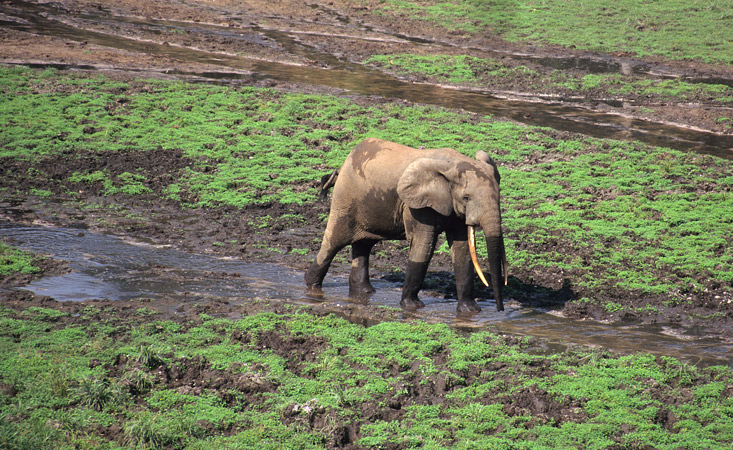 An image of a elephant, with the typical downward pointing tusks of a forest elephant, walking along one of the many shallow streams that thread their way across the Dzanga clearing.