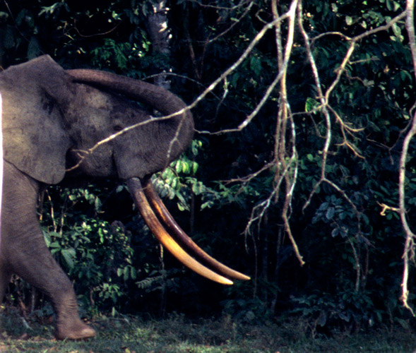 An image of a forest elephant in the forest displaying a pair of magnificent, long, narrow, downward pointing and yellow stained tusks.