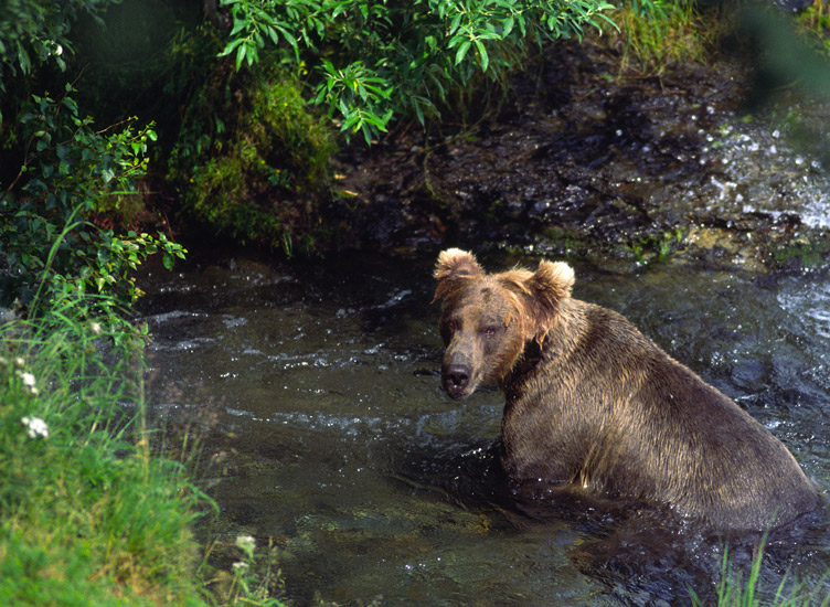 An image of  a brown bear looking up from where it is fishing in a very narrow fast flowing stream