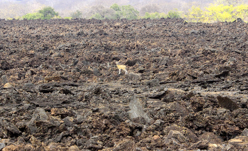 An image of a tiny Dik Dik antelope out in the middle of a 70 year old lava flow that has now become a dried out wasteland of tumbled rocks that is impossible to walk over.