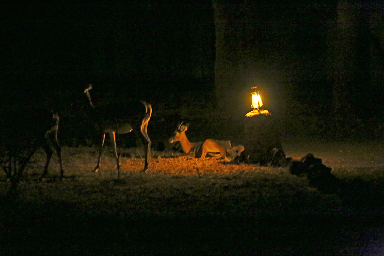 An night time image of some impala antelope gathered around a small lamp on a plinth used to illuminate the track to the banda.