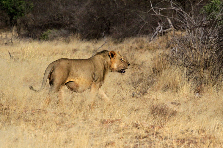An image of a fully grown male lion with no mane stalking along through the scrub adjacent to the Tsavo River.