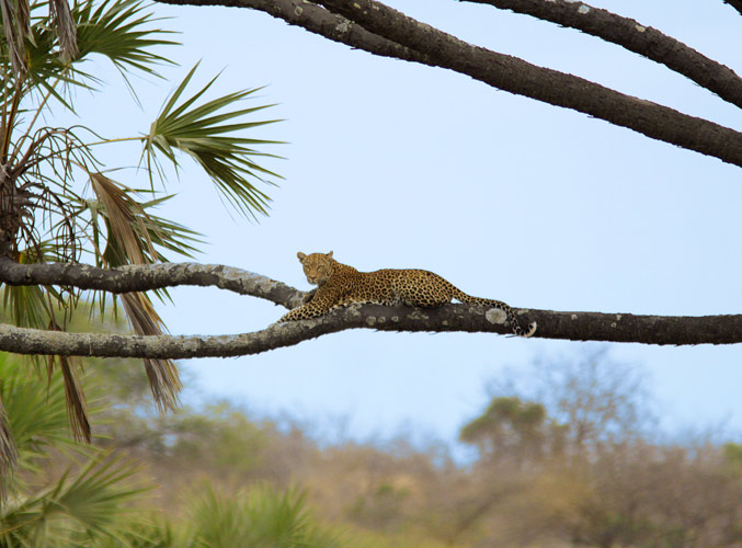 An image of a leopard resting on a Dum Palm branch