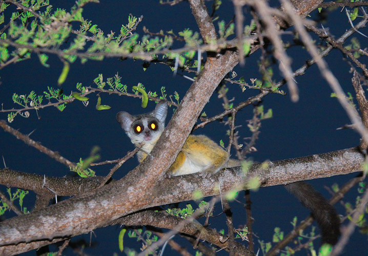 An image of a tiny, monkey-like Bushbaby in a tree above the veranda, whith huge eyes reflecting the light of the torch being trained on it from below.
