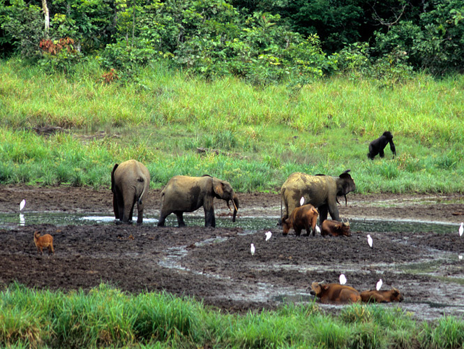 An image of  forest buffalo, elephant, sitatunga and gorilla together at the bai clearing on a sunlit morning.