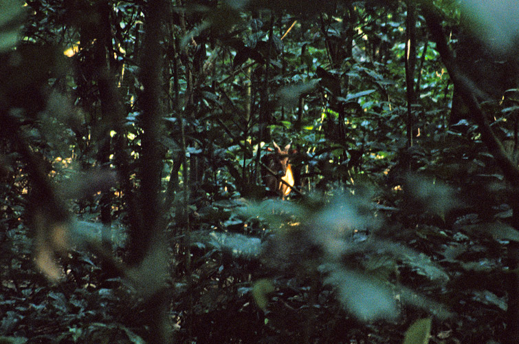 An image of a barely visible duiker in the dappled light of the rainforest floor.