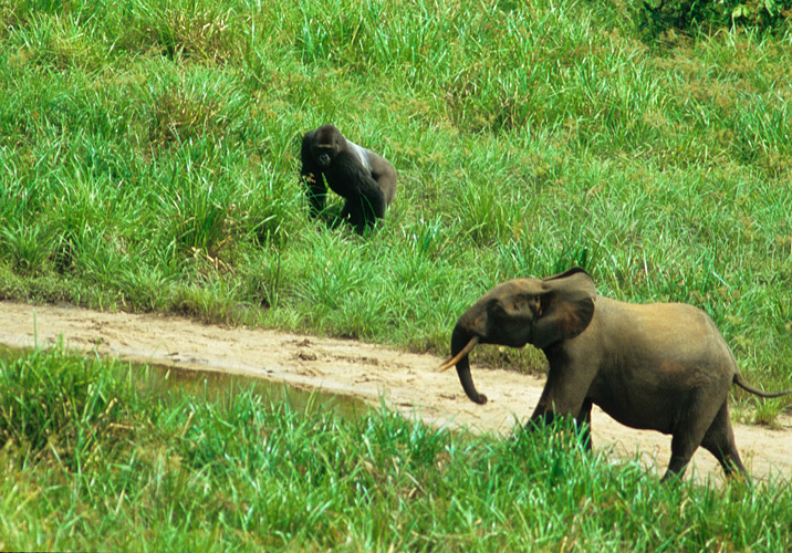 An image of a gorilla and a forest elephant interacting in the clearing.