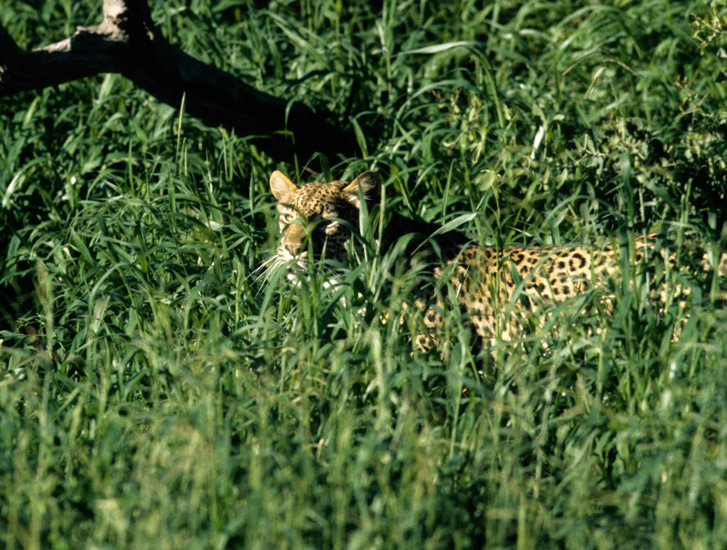 An image of a leopard just visible throughthe dense vegetation of a forest clearing.