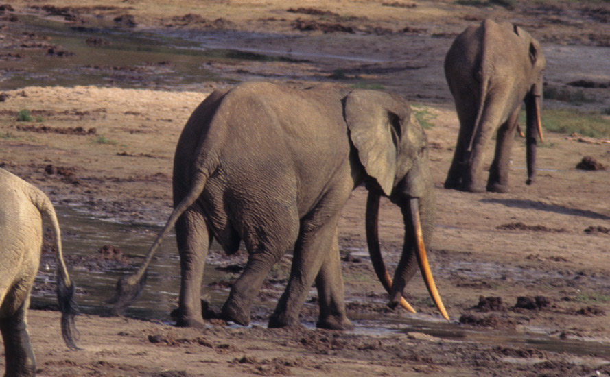 An image of  a very large tusked elephant at one of the forest clearings.