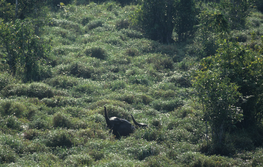 An image of several small forest elephant seen from the vantage of a very tall tree adjacent to a swampy clearing. The elephants are barely visible in the tall reeds