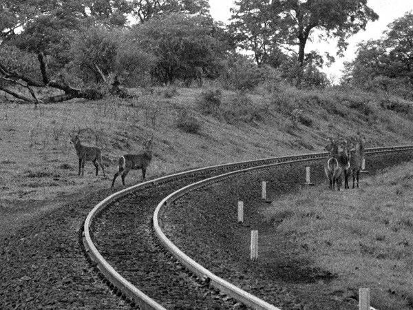 An image of  several waterbuck standing next to a section of the Vic Falls to Bulawayo railway line