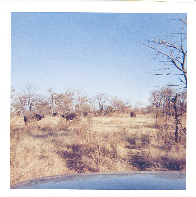 An image of a herd of buffalo in Kalahari bush scenery with grass and thornscrub