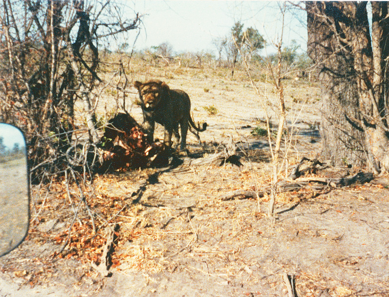 A lion on a kill in the shad with arid bush in the background